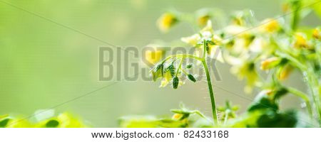 Spring Seedling Plant Of Blooming Young Tomato On Blur Green Background, Panorama