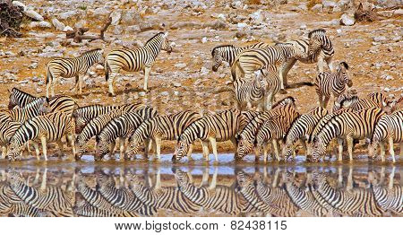 Herd of Zebras drinking from waterhole with reflection