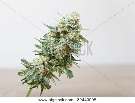 Harvested Hemp Bloom