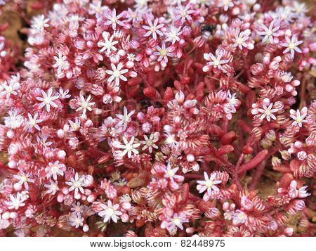 Pink flowers of the succulent blue stonecrop Sedum caeruleum