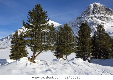 Green Fir Trees In Snowy Austrian Alps