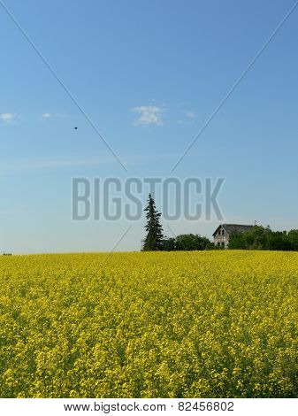 Canola in Bloom