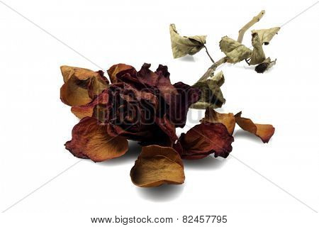 Dead Rose Lying On White background