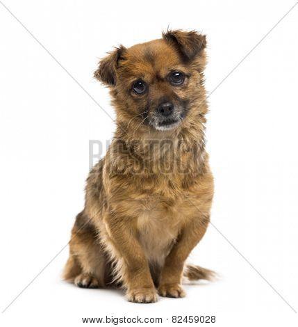 Crossbreed dog