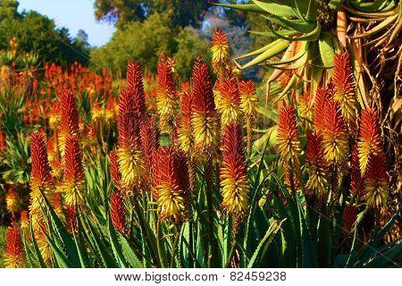 Aloe Blossoms