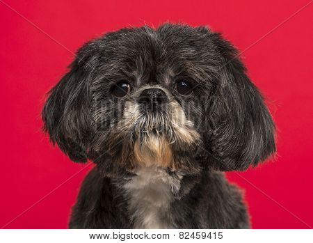 Close-up Shih Tzu (10 years old) in front of a pink background