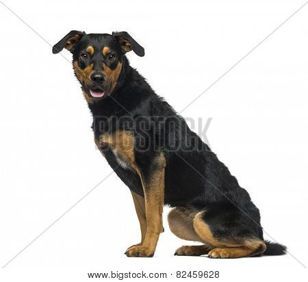 Crossbreed dog (18 months old)