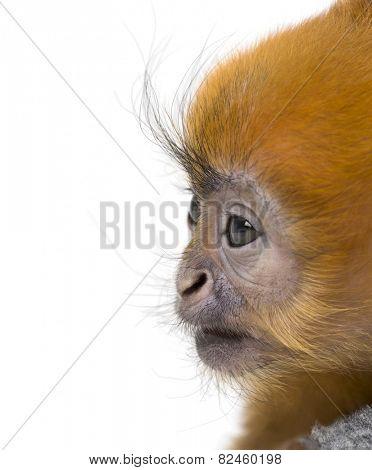 Close-up of a baby Francois Langur (1 month)