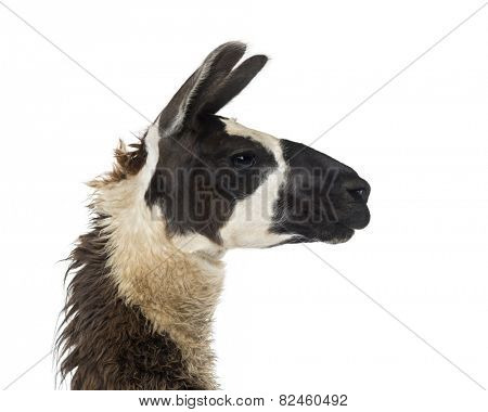 Close-up of a Llama