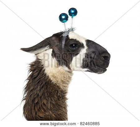 Close-up of a Llama wearing a headband