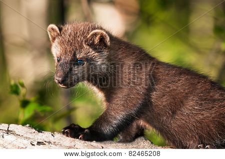Young Fisher (martes Pennanti) Stands On Log
