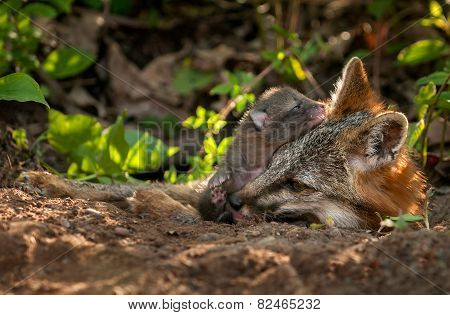 Grey Fox (urocyon Cinereoargenteus) Vixen And Kit At Den