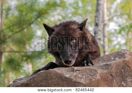 Black Wolf (canis Lupus) Looks Over Rock
