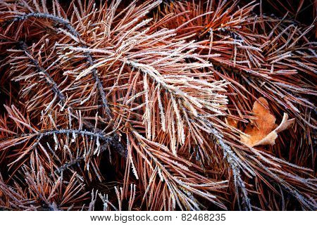 frozen old needles - abstract natural background