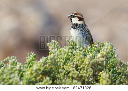 Spanish Sparrow (passer Hispaniolensis)