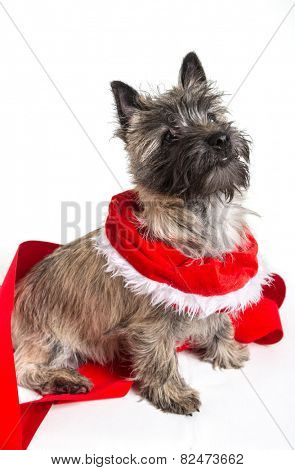Cairn terrier dressed for Christmas.