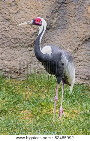 Red-craned Crane