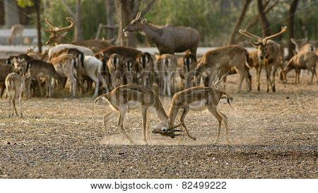 2 Deer (or Chital) Play Together