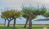 stock photo of tamarind  - Tamarind trees by the coast in Pollensa bay - JPG