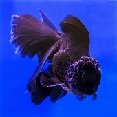 foto of goldfish  - Goldfish in an aquarium with blue background. ** Note: Visible grain at 100%, best at smaller sizes - JPG