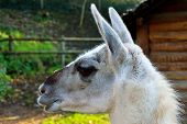 foto of lamas  - Cute lama with a cottage in the background - JPG