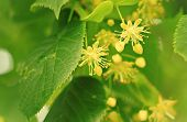 stock photo of lime-blossom  - close up of flowers of lime - JPG
