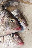 foto of red snapper  - Raw red snapper on ice at a farmer - JPG