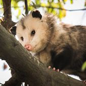 stock photo of opossum  - Male opossum rubbing his snout on a tree branch - JPG