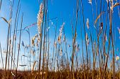pic of marshlands  - Flowered mature wild cane on a clear blue sky - JPG