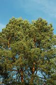 picture of view from space needle  - Spreading crown of old pine tree against the blue sky - JPG