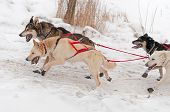 stock photo of sled-dog  - Sled Dogs Race Up Embankment  - JPG