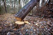 foto of cutting trees  - Cut down pine tree in forest - JPG