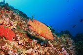 picture of grouper  - Coral Grouper  - JPG