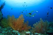 stock photo of school fish  - School yellow snappers fish and coral reef underwater - JPG