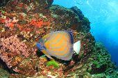 foto of angelfish  - Ringed Angelfish - JPG