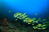 picture of school fish  - School yellow snappers fish and coral reef underwater - JPG