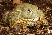 stock photo of pixie  - African Bull Frog  - JPG