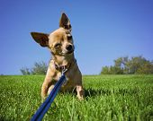 foto of mexican-dog  - a tiny chihuahua on a grassy hill - JPG