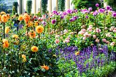 picture of blue-salvia  - Yellow dahlias and blue wild sage in a garden - JPG