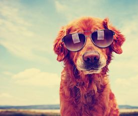 stock photo of pal  - a cute golden retriever toned with a retro vintage instagram filter with sunglasses on - JPG