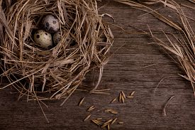 picture of quail egg  - quail organic eggs with straw in nest on rustic wooden background - JPG