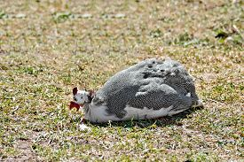 stock photo of guinea fowl  - Chicken guinea fowl sitting on green grass and earth - JPG