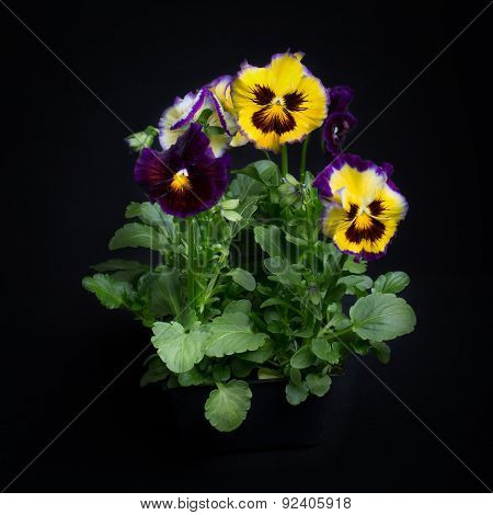 A small group of pansies grown in a black plastic pack and on a black background.