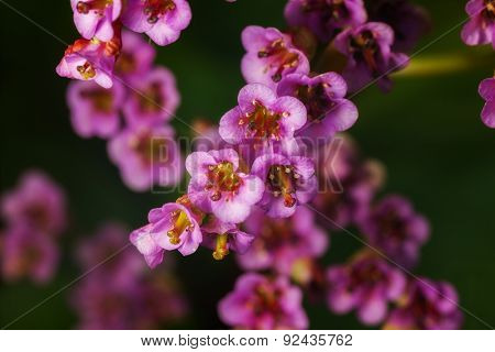 spring flower bergenia. outdoor shot