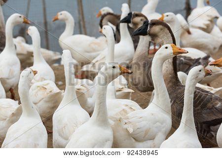 Geese at a farm