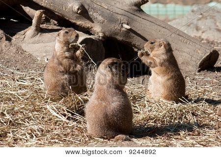Ground Hogs Eating