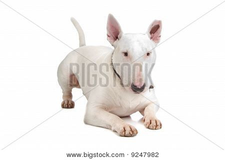 English Bull Terrier, Bully, Gladiator