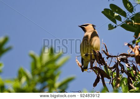Cedar Waxwing Looking Out Over The Tree Tops