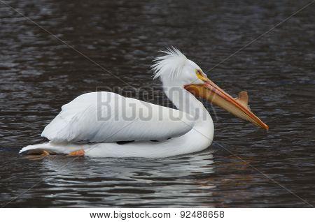 White Pelican1
