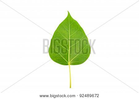 Green Bodhi Leaf On White Background